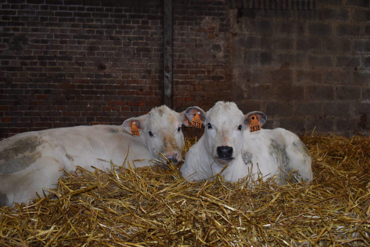 Deux vaches à la ferme Les Trieux
